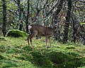 Deer in Guerness Wood - geograph.org.uk - 597838.jpg