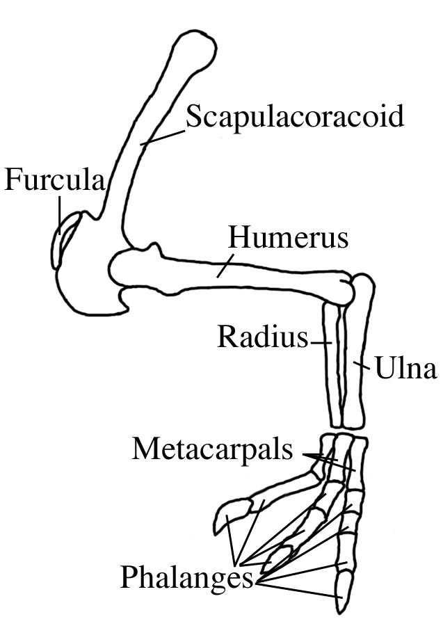 Deinocheirus mirificus forelimb en