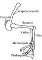 Deinocheirus mirificus forelimb en.png
