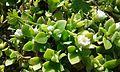 Delosperma tradescantoides hojas.jpg