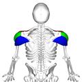 Deltoid muscle back4.png