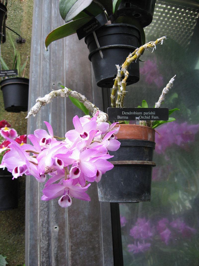 DendrobiumParishii.jpg