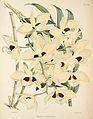 Dendrobium pulchellum (as D. dalhousieanum) - Warner, Williams - Select orch. plants 1, pl. 22 (1862-1865).jpg