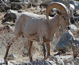 Desert bighorn sheep - Image: Desert Bighorn Barna Cropped
