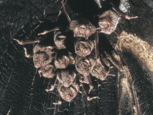 The image depicts a colony of vampire bats hanging from a tree.