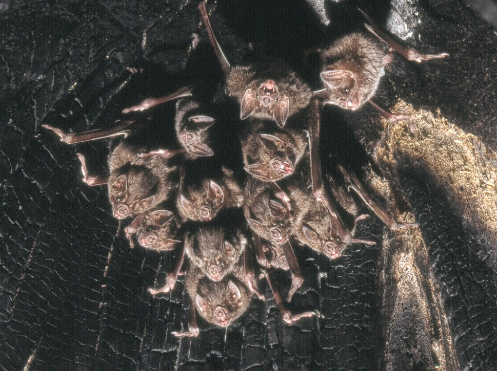 Desmo-kolonie-baum