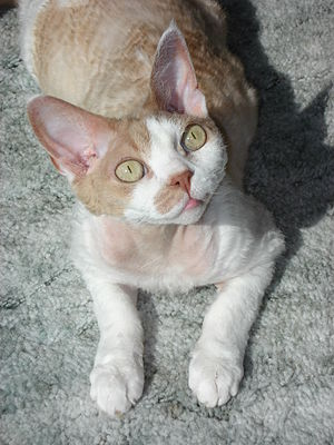 Cream & white, full grown Devon Rex lying in t...