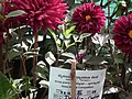 Dhalia cactus from Lalbagh flower show Aug 2013 7933.JPG