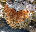 Dichocoenia stokesii (elliptical star coral) (San Salvador Island, Bahamas) 1.jpg