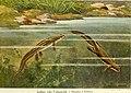 Die Reptilien und Amphibien mitteleuropas (1912) (20755747849).jpg