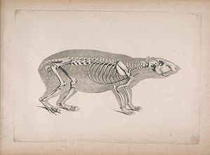 Lowland paca - Skeleton