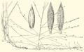 Digitaria arenicola HC-1951.png