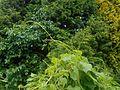 Dioscorea caucasica 2016-05-31 1867.jpg