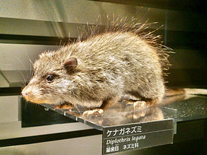 Ryukyu long-tailed giant rat - Stuffed specimen of Diplothrix legata. Exhibit in the National Museum of Nature and Science, Tokyo, Japan.