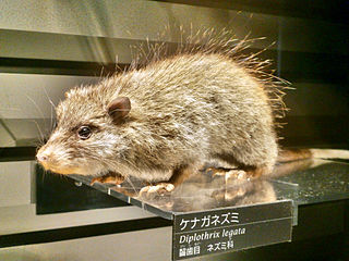 Ryukyu long-tailed giant rat Species of rodent