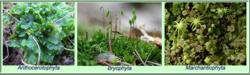 Divisiones bryophytarum.png