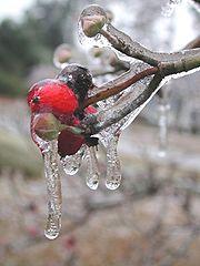 Cornus florida Dogwood berries encased in ice, Hemingway, South Carolina