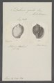 Dolium galea - - Print - Iconographia Zoologica - Special Collections University of Amsterdam - UBAINV0274 085 05 0002.tif