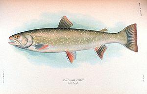 English: Dolly Varden trout, Salvelinus malma ...