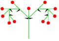Doppelschraubel (inflorescence).PNG