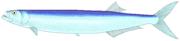 Dorab wolf-herring