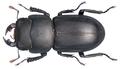 Dorcus parallelipipedus (Linné, 1758) (9494209545).png