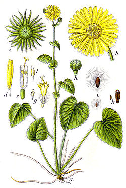 Doronicum pardalianches