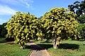 Dracaena reflexa var. variegata (Agavaceae).jpg