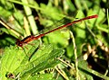 Dragonfly near Otaki (7087601647).jpg