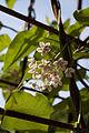 Dregea sinensis - Floraison.jpg