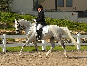 Français : Un cheval shagya en compétition de ...