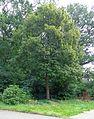 Driebergen Beatrixboom 2.jpg