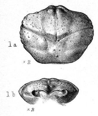 Caroline Birley - Dromiopsis birleyae – a fossil crustacean discovered by Caroline Birley