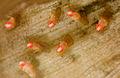 Drosophila - Costa Rica 2008.jpg