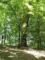 Dub letní, Vysoké Mýto, Vinice 3.jpg