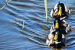 Ducks - Rutland Water (16593761023).jpg