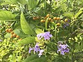 Duranta Erecta flower with fruits.jpg
