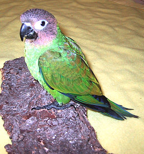 Description de l'image DuskyConure.jpg.