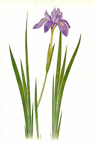 William Rickatson Dykes - Watercolor of Iris nepalensis by F.H. Round for William Rickatson Dykes, The Genus Iris, 1913 (plate 39).