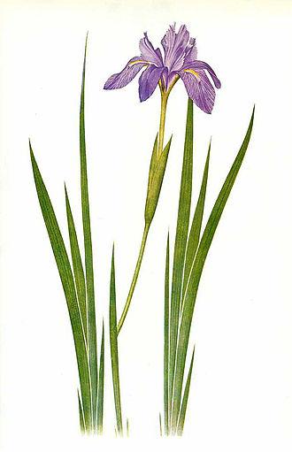 William Rickatson Dykes - Watercolor of Iris nepalensis by F.H. Round for William Rickatson Dykes, The Genus Iris, 1913 (plate 39).