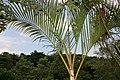 Dypsis lutescens 36zz.jpg