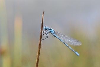 E.cyathigerum.jpg