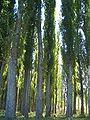 E8060-Chuy-Valley-Milyanfan-east-poplars.jpg