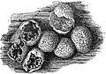 EB1911 Mycetozoa - Badhamia panicea - sporangia.jpg