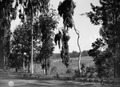 ETH-BIB-Bäume an einer Landstrasse-Kilimanjaroflug 1929-30-LBS MH02-07-0253.tif