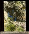 ETH-BIB-Polemonium caeruleum, Sperrkraut Surlej-Dia 247-14151.tif