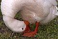 Easter goose 2006.jpg