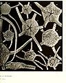 Echinodermes (astéries, ophiures et échinides) (1912) (21112570516).jpg
