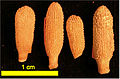 Echinoid Spines Picture -1 for IS.jpg