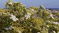 Echinophora spinosa673.jpg